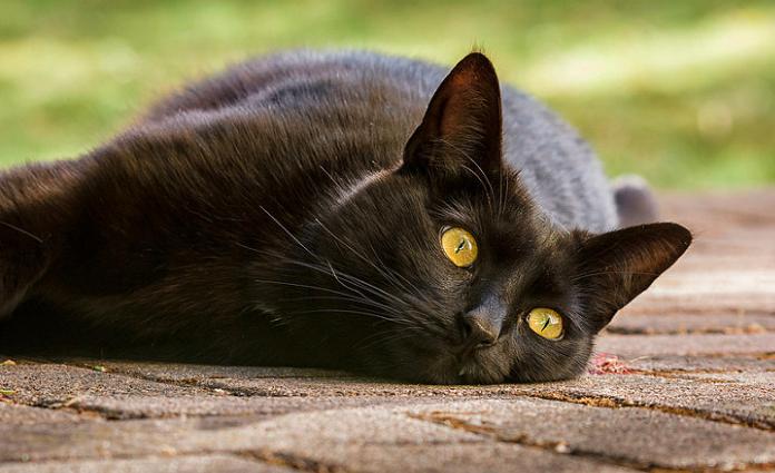 【8/17はなぜ黒猫感謝の日??】由来や黒猫に関する可愛い雑学まとめ。