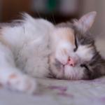 猫のいびきは要注意!?いびきをかく原因や理由・対処法についてのまとめ。