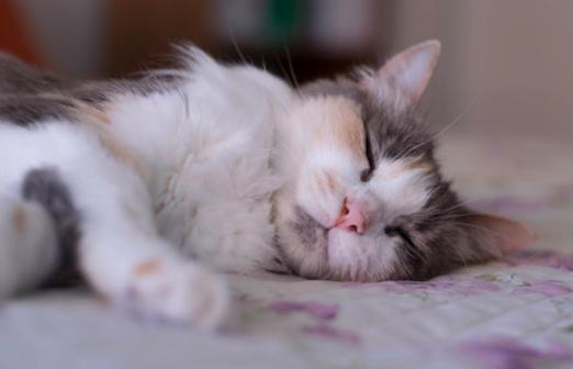 猫,いびき,寝る,画像,