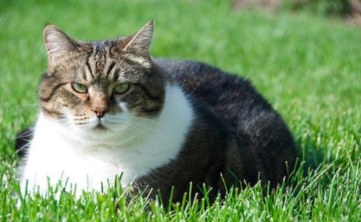 猫,肥満,画像,体重,食事