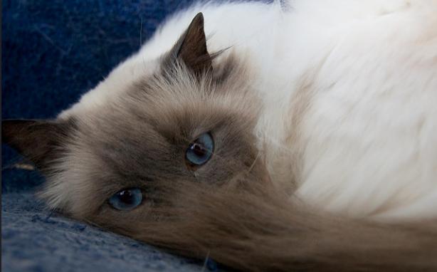 猫,尻尾,噛む,写真,画像,ストレス