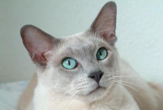 トンキニーズ,猫,種類
