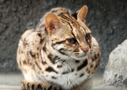 ベンガルヤマネコ,猫,画像,種類