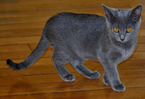 シャルトリュー,猫,画像,種類