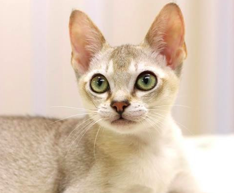 シンガプーラ,猫,画像,種類