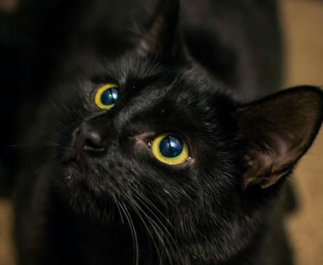 ボンベイ,猫,種類,画像