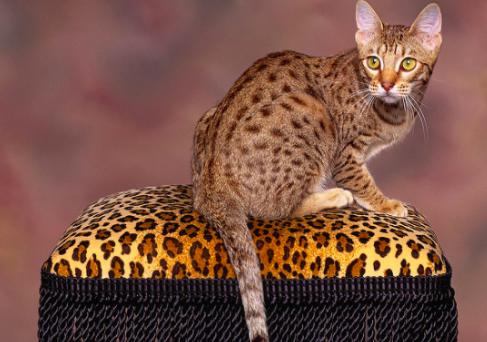 オシキャット,猫,種類,画像,ベンガル