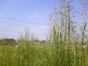 猫草,燕麦,カラス麦,オート麦,画像