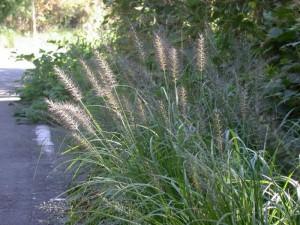 猫草,エノコロ草,画像