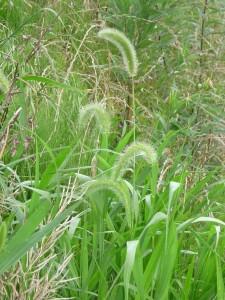 チカラシバ,猫草,危険,類似,画像