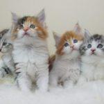 【最新版】猫の種類別人気ランキングTOP10は??~性格や特徴の解説~