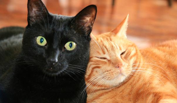 猫,頭突き,ゴツン,愛情表現,画像