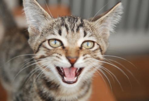 猫,怒る,攻撃的,画像,