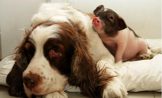 ミニブタ,飼育,ペット,画像,写真,犬