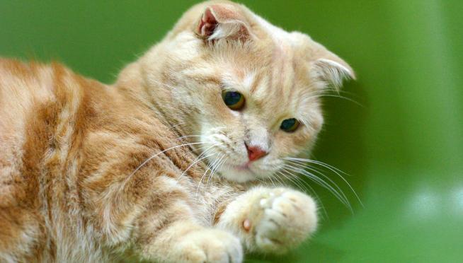 【猫の種類】マンチカンってどんな猫??性格や特徴のまとめ。短足な理由は??