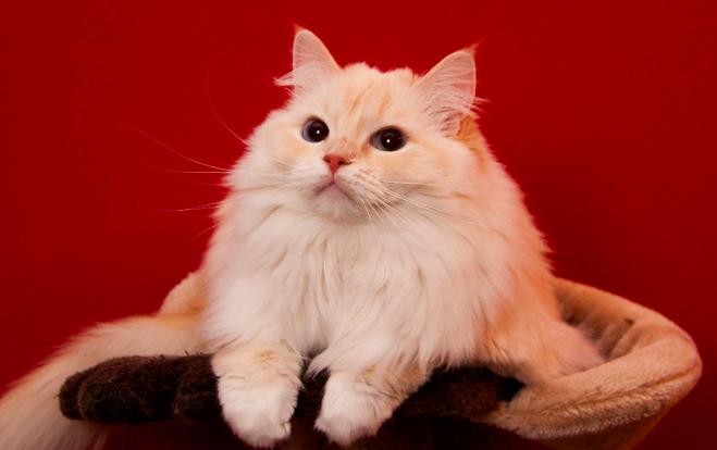 ラグドール,猫,種類,画像,性格,特長