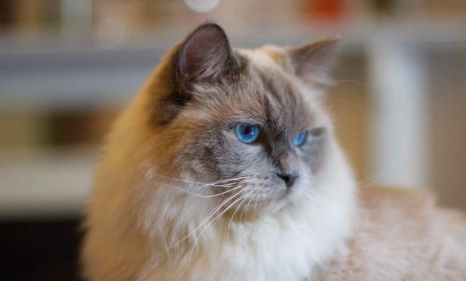 ラグドール,猫,種類,画像,