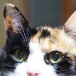 【猫の雑学】三毛猫のオスは高額?実際に販売されているの??