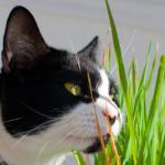 猫草(キャットグラス)の効果についての解説。食べ過ぎはよくない?毛玉対策にはなるの?