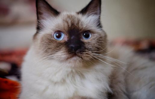 ふわふわ猫ちゃん♪ヒマラヤンってどんな種類の猫??