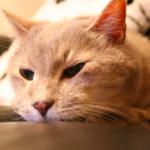 毛玉?もしくは病気?〜猫が吐く原因と対策方法のまとめ〜