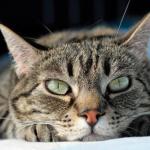 猫は虫歯にならない??歯周病に注意は必要??注意したい歯の病気とは。