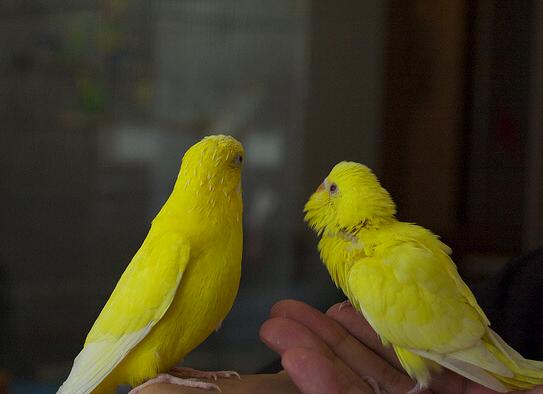 全身が黄色!セキセイインコの「ルチノー」とは。