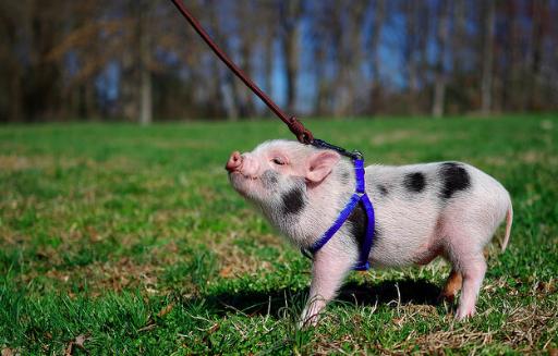 【飼育費用や性格は?】ペットとしてミニブタを飼う時に知っておくべきこと。