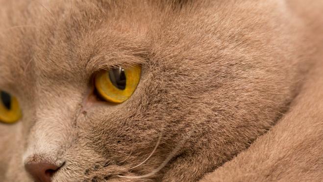 【猫の種類】スコティッシュ・フォールドの特徴や性格は??病気になりやすいって本当??
