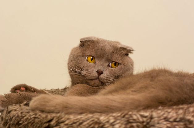 スコティッシュフォールド,猫,種類,画像,写真