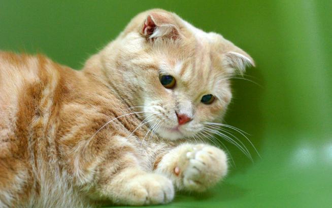 マンチカン,猫,画像,種類,可愛い,写真