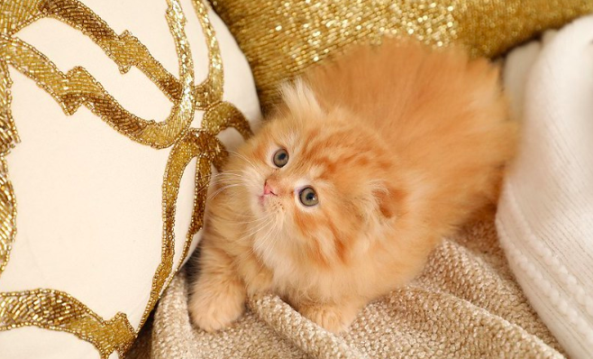マンチカン,猫,種類,ペット,画像,写真