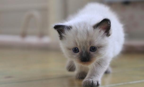 「ラグドール」ってどんな猫??性格や特長についての解説。-猫の種類のまとめ-