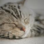 【猫の種類】アメリカンショートヘア(アメショー)ってどんな種類??性格や特徴は??