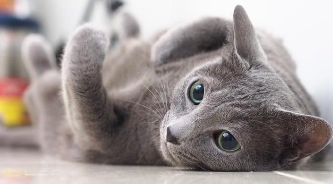 【猫の種類】ロシアンブルーってどんな猫??性格や特徴のまとめ。|ネコについての解説。