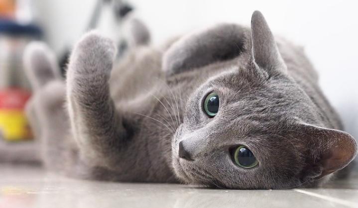 ロシアンブルー,猫,画像,種類,性格,特徴,可愛い,写真