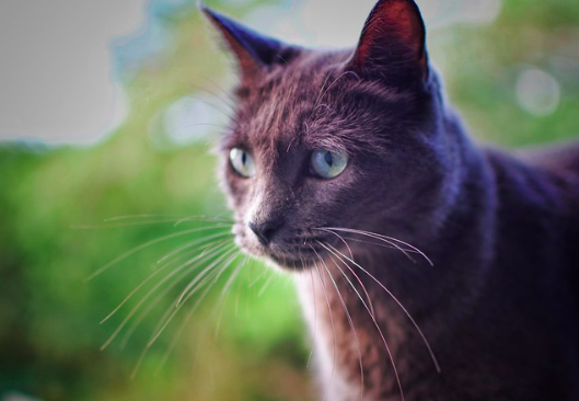 ロシアンブルー,毛色,猫,画像,種類,性格,特徴,可愛い,写真