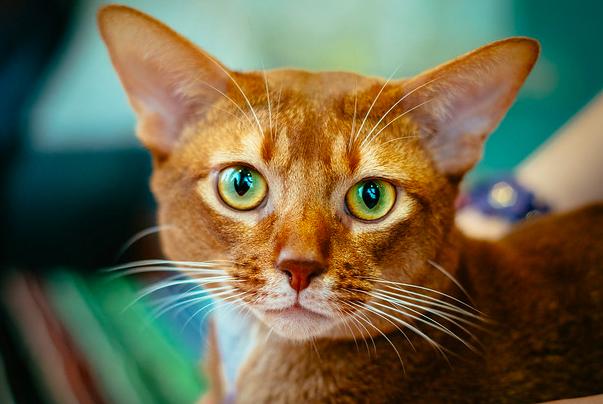 アビシニアン, 猫,種類,毛色,性格,特徴,価格