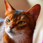 【エジプト生まれの猫】アビシニアンってどんな種類??性格や特徴のまとめ。|猫についてのまとめ。