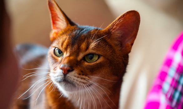 アビシニアン,猫,種類,性格,特徴,,画像,毛色,写真