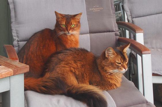 ソマリ,猫,種類,性格,特徴,毛色,写真,画像