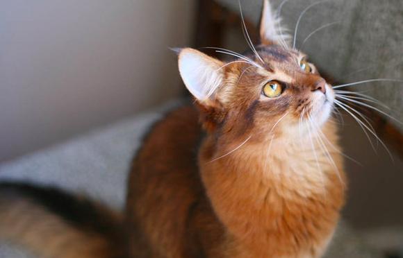 【もふもふ猫】ソマリってどんな猫の種類?性格や特徴について。|猫についての解説