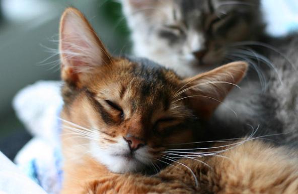 ソマリ,毛色,ルディ,画像,猫