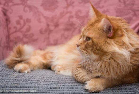 メインクーン,猫,種類,性格,特徴,人気,ランキング,画像,写真