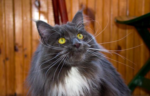 【でかい猫】メインクーンの性格や特徴は?|猫の種類のまとめ。