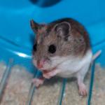 チャイニーズハムスターってどんな種類??飼育方法についての解説。|ペットのまとめ。