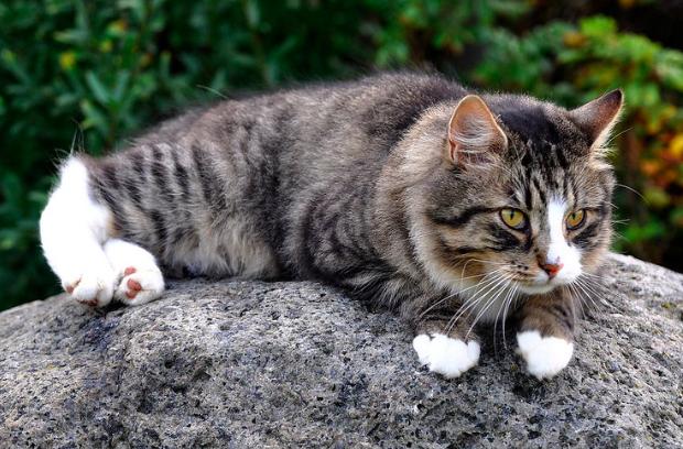 ノルウェージャンフォレストキャット,猫,種類,画像,写真