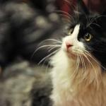 【森の妖精】ノルウェージャンフォレストキャットってどんな猫??|猫のついての解説。