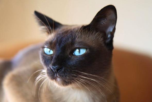 トンキニーズ,ポインテッド,猫,種類,画像