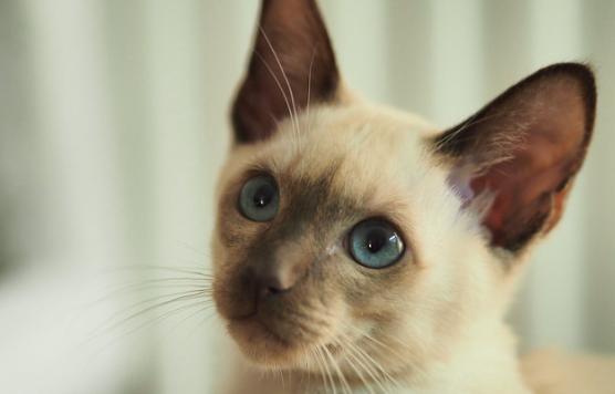 【猫の種類】トンキニーズってどんな性格??特徴や値段など。